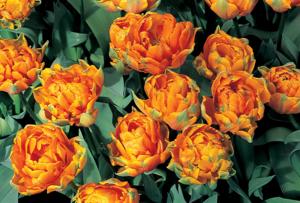 НЕОБЫЧНЫЕ Тюльпаны К 8 Марта
